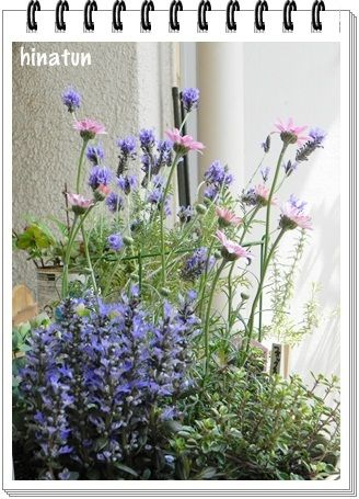 ひなちゅんの!なちゅらる日記-寄せ植えの鉢とレースラベンダー