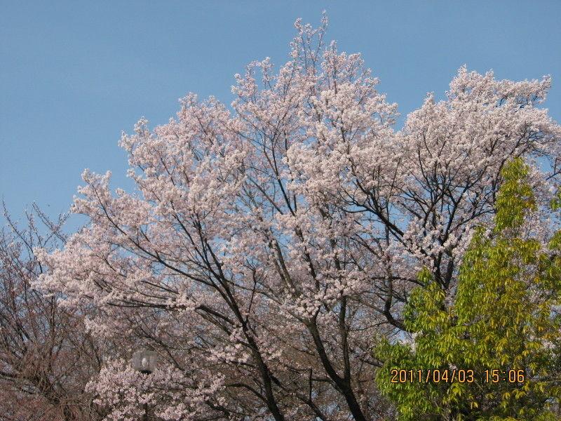 hinatunの!なちゅらる日記-市民公園桜