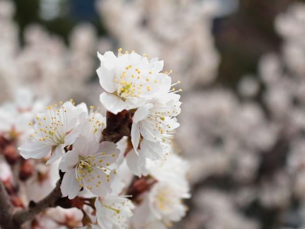 0318隣の桜_1600