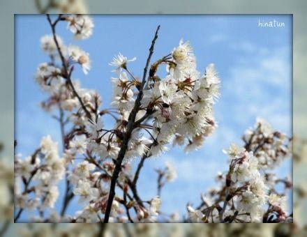ひなちゅんの!なちゅらる日記-桜