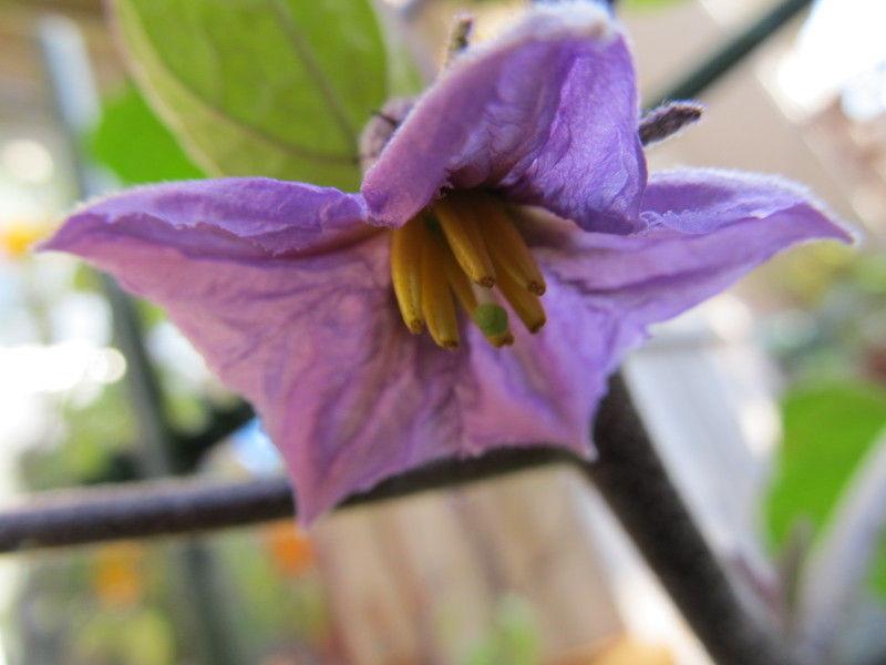 hinatunの!なちゅらる日記-秋茄子の花