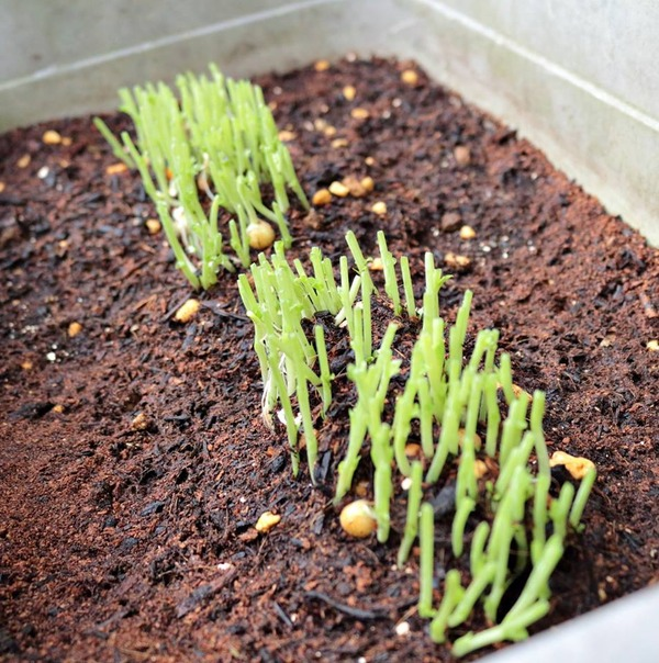 0318_豆苗を植える