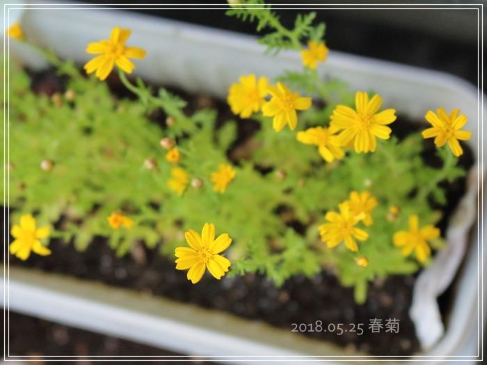 0525春菊