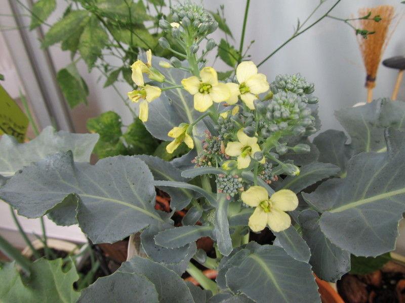 hinatunの!なちゅらる日記-ブロッコリーの花