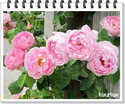 世界に誇るバラ園「花フェスタ記念公園」 (3)