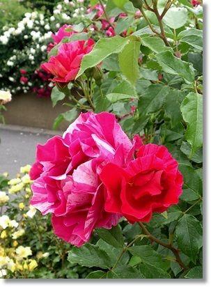 薔薇館 ~フレンチレストラン ラ・ローゼ ブランシェ~