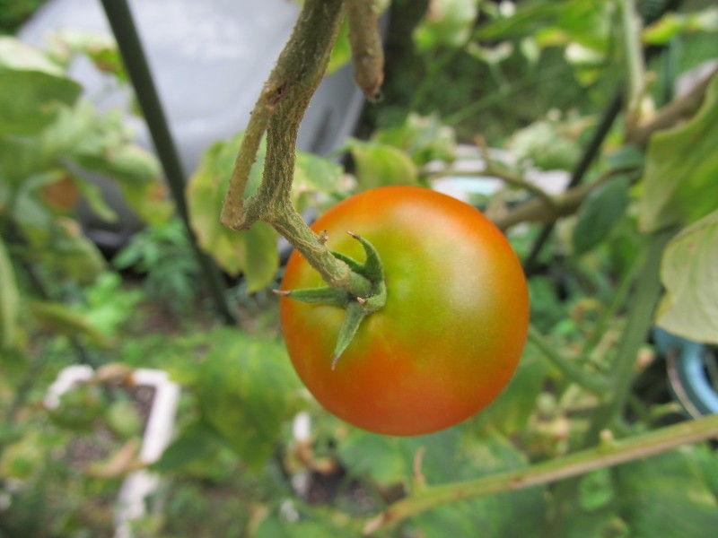 hinatunの!なちゅらる日記-フルーツトマト