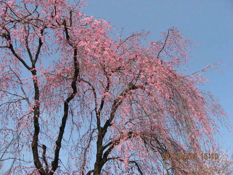 hinatunの!なちゅらる日記-市民公園桜2