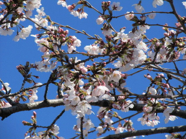 hinatunの!なちゅらる日記-小牧桜