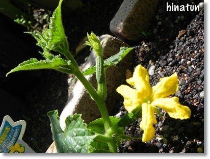 ミニきゅうりの花