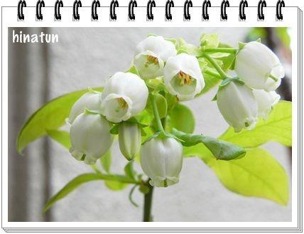 ひなちゅんの!なちゅらる日記-ブルーベリーの花