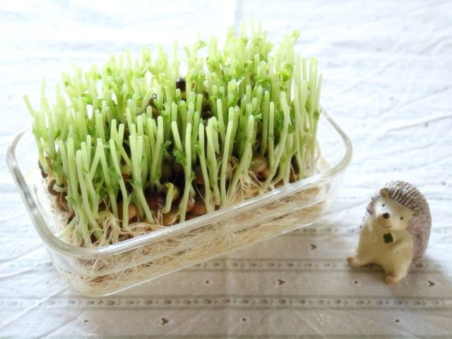 豆苗のリボベジ