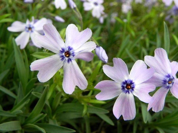 芝桜ブルー
