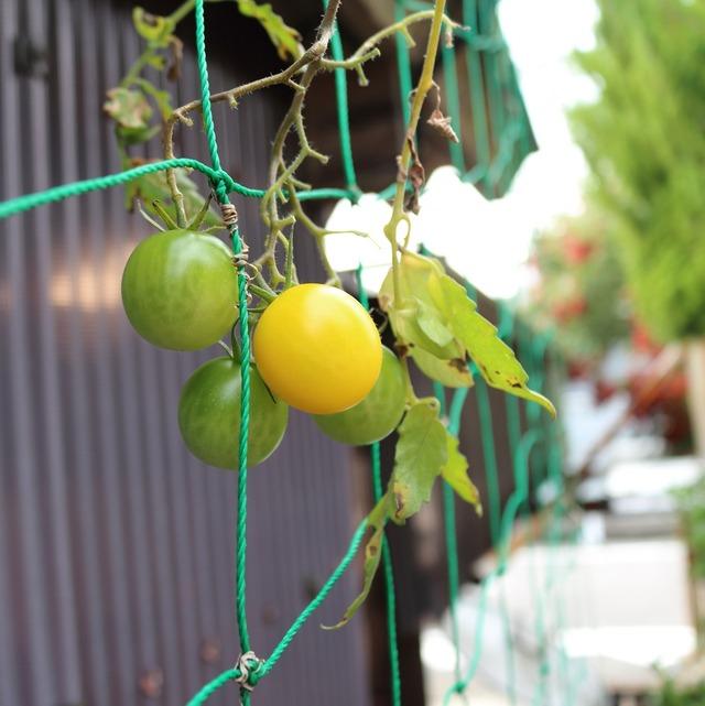 """この時期だけどまだあります。夏野菜""""トマト""""ようやく色づきました。"""
