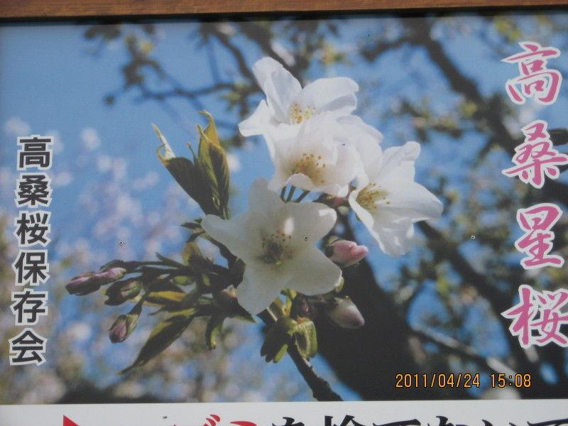 さくらみさんぽ 2011 ~高桑星桜のつもりがウコン桜~