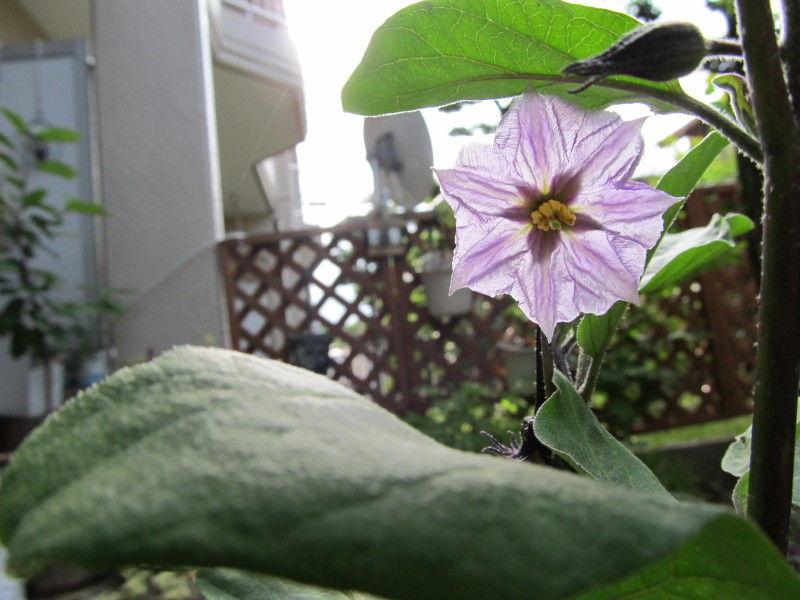 hinatunの!なちゅらる日記-なすの花