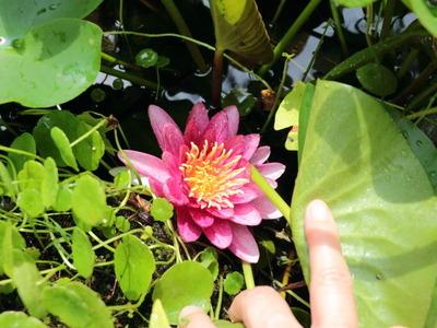 0801スイレンの花