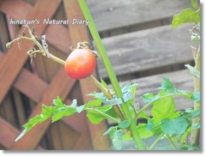 凛々子トマト
