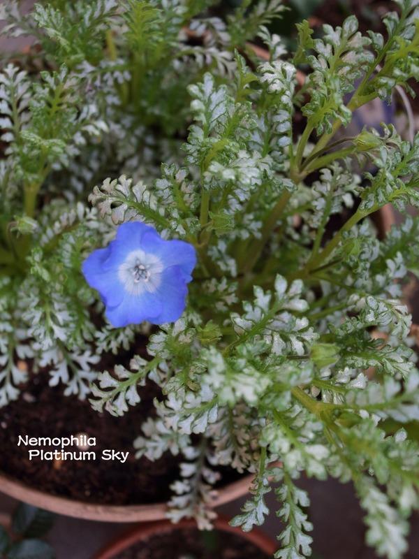 今年の春の花「ネモフィラ プラチナスカイ」や「イベリス」他 お庭の様子