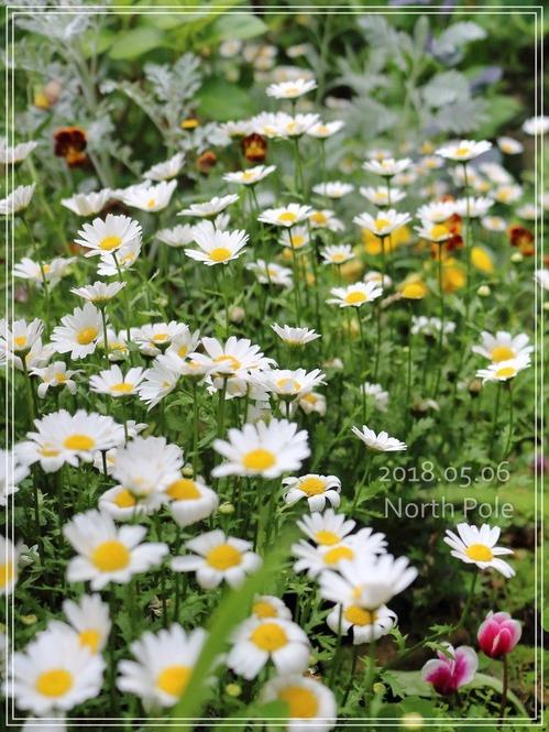 5月のガーデン☆初夏の楽しみ♪ミニバラ&ネモフィラ&オルラヤ