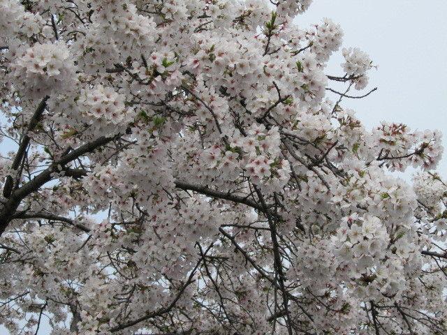 hinatunの!なちゅらる日記-桜満開