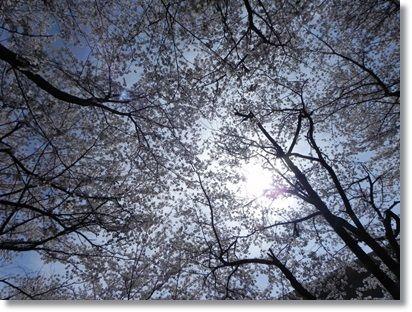 桜とおひさま