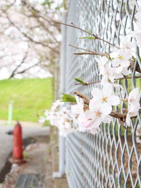 桜と消火栓