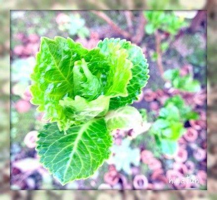 ひなちゅんの!なちゅらる日記-紫陽花