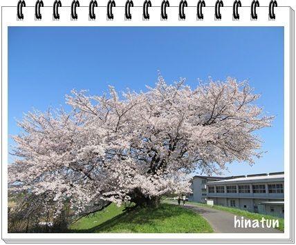 さくら み さんぽ 2012 ~満開の桜 境川堤防桜~