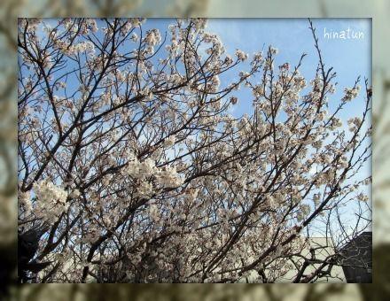 ひなちゅんの!なちゅらる日記-桜2