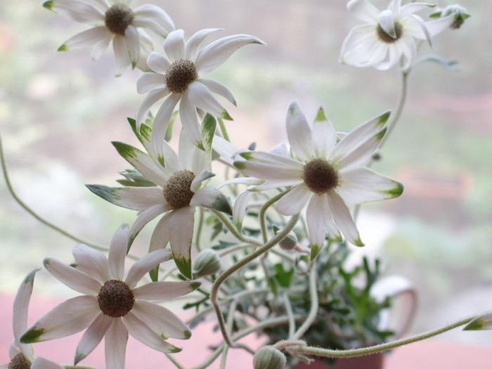心を癒す岐阜の花【フランネルフラワー】岐阜クッキングアンバサダー