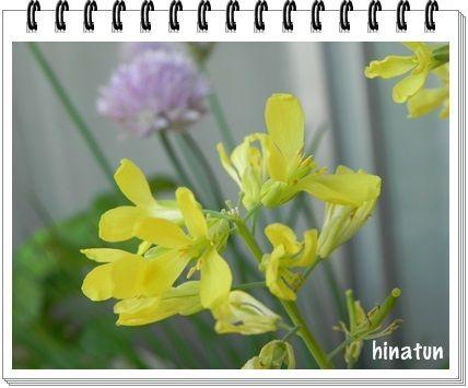 ひなちゅんの!なちゅらる日記-葉牡丹の花