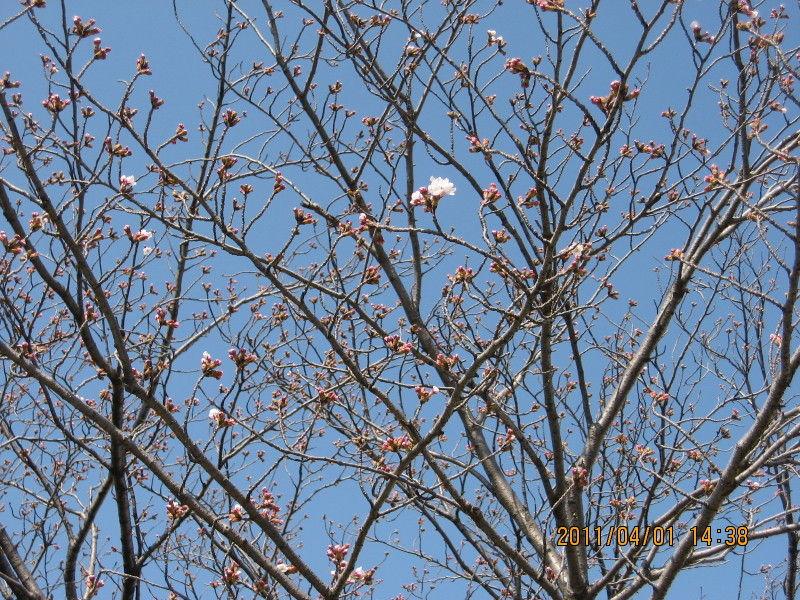 hinatunの!なちゅらる日記-桜
