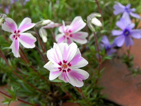 芝桜ピンク