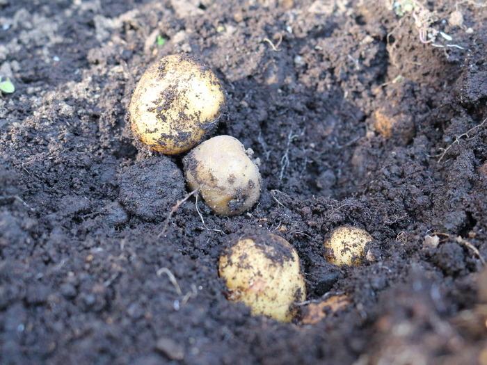 新じゃがの収穫☆昨年9月にプランターに植えたもの