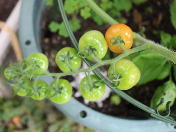夏野菜の様子その2☆プランター菜園:小玉スイカの残念な結果
