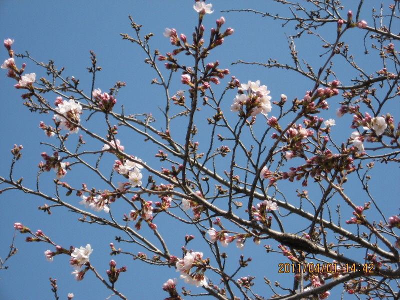 hinatunの!なちゅらる日記-桜4