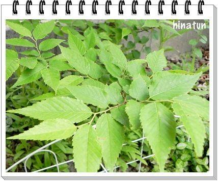 何の木?葉っぱ