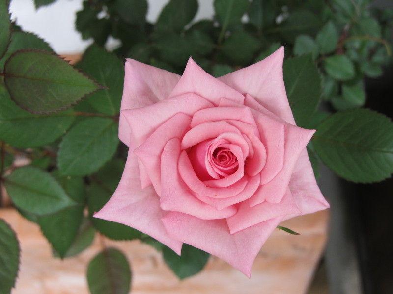 薔薇の形のお手本・・・みたい