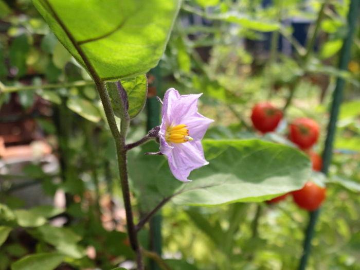 0801茄子の花