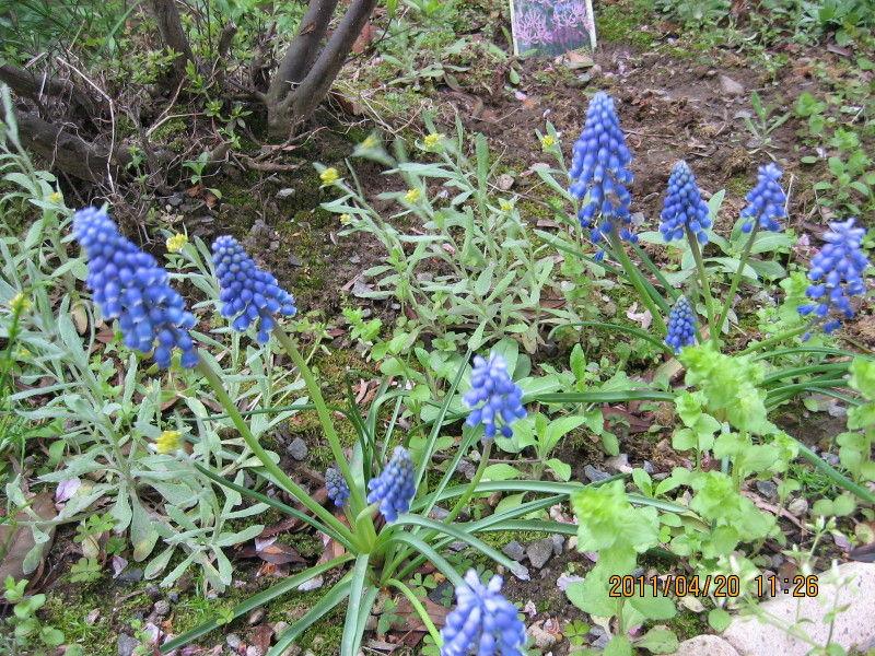 花が咲きそうなキャベツとミニ大根