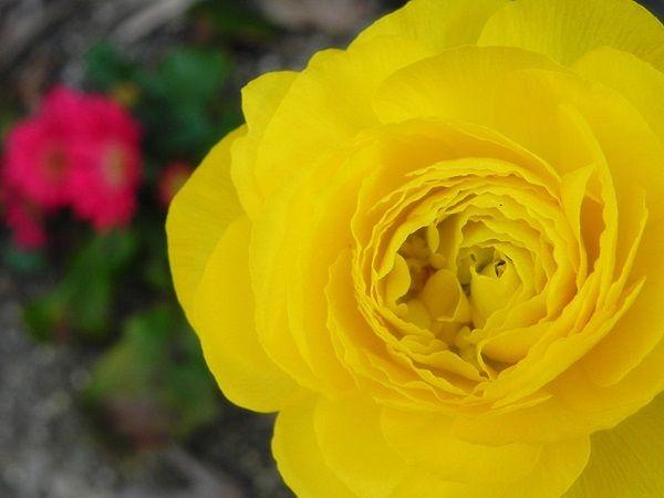 ラナンキュラスが咲きました!