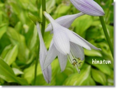 きぼうしの花