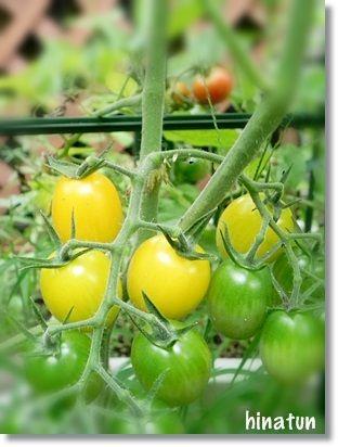 雨上がりの庭 収獲まじかな野菜たち