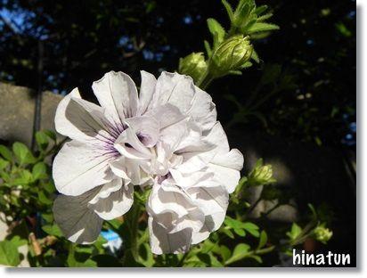 八重咲きペチュニアの開花 種まき野菜のその後
