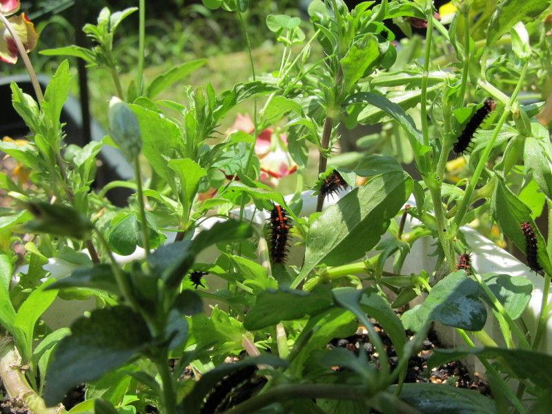 hinatunの!なちゅらる日記-ツマグロヒョウモン幼虫