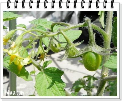 ひなちゅんの!なちゅらる日記-ミニトマト