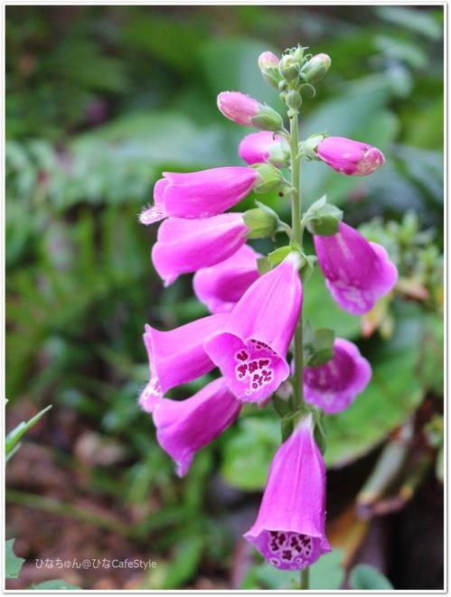"""季節外れのジキタリスの花☆今は""""にんじん""""を育てています。"""