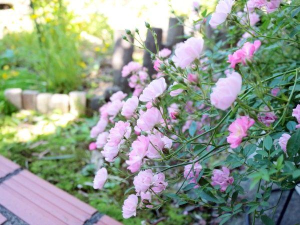 ミニバラが花盛り♡ナチュラルガーデンの様子