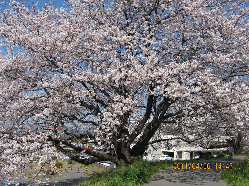 hinatunの!なちゅらる日記-桜大木